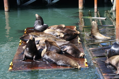 victoria-frances-photography:  Sea Lions in the Harbor | Oregon | Victoria Frances Photography