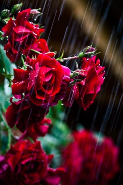 Ruže - Page 4 Tumblr_md2al3fW7o1qbsrwpo1_500