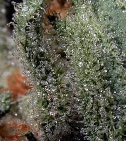 chroniczipsandbongrips:  foreverisreal:  Bubbles macro  x