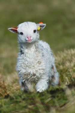animalgazing:  earthlynation:  Small sheep. by Geir Magne Sætre on 500px  so precious