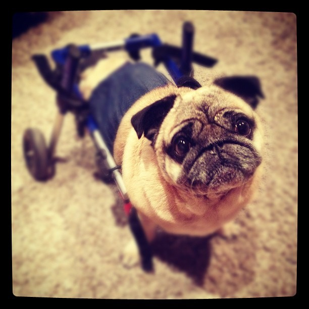 Bebop Pugman is ready to vote! #pug #puglife