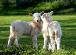 "missausten12:  ""LAMBS IN SPRING WALES UK"" by kfbphoto"