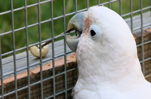 "Tool Use by Captive Cockatoo Drives Researchers to Re-Evaluate The Relationship Between Tools and Intelligence  Figaro used a different tool in each subsequent trial, and in most cases made some modifications to it before successfully retrieving a nut. In at least one case, he performed four separate modifications before putting a stick to use in retrieving the nut. He also managed to use the tool in two different ways, often alternating dragging and sweeping motions in his efforts to pull the food within reach. After observing this, the authors used the same setup to test another male cockatoo, but he showed no indications of tool use. But a female who witnessed Figaro in action (she was in the cage ""to avoid the stress of isolation"") showed the impressive abilities of birds to absorb social information. Heidi, the bird in question, attempted to insert sticks into the enclosure, as she had seen Figaro do. She did not, however, adjust their sizes or attempt to manipulate them once they were on the same side of the wire mesh as the nut. Perhaps if she had been given more time to observe Figaro at work (he chased her off), she might have had a greater sense of how to use the sticks. The authors conclude that tool use is within the cognitive capacity of this species, even though they have never been observed using tools in the wild. They're not sure why Figaro had the breakthrough that he did, but it's clear that the behavior, once learned, was sticking around. The authors note the corvids and parrots are so widely separated within the birds' evolutionary tree that it's unlikely that they had a common, tool-using ancestor. They argue that, although we tend to think of tool use as a distinctive mental capacity, it might be more accurate to consider it as a possible outcome of having some minimum level of what they call ""physical intelligence."" Goffin's cockatoos don't normally exercise this capacity but, under the right circumstances, it can be uncovered.  (via Parrot in captivity manufactures tools, something not seen in the wild 