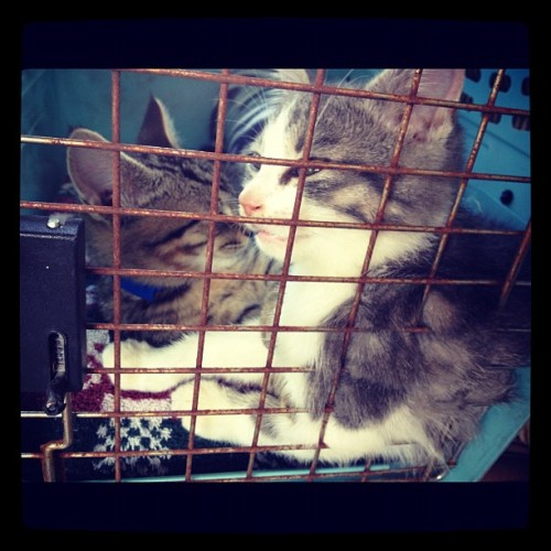 Best car-riding kittens I've ever known! Monty (grey) and Bukowski (brown) #alabamakittens #fleta