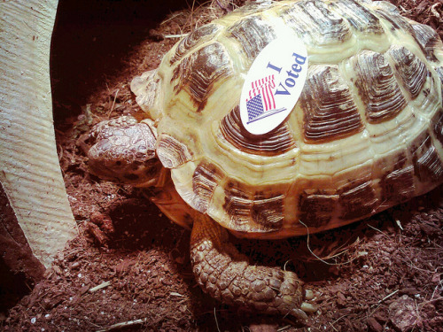 turtlefeed:  tort-time:  Zoya voted! Did you??  Good job, Zoya.