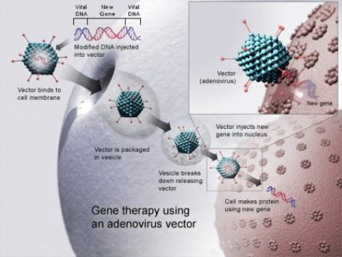 First Gene Therapy to be Commercially Available in the West Coming in 2013  Gene therapies carry a lot of promise, including the ability to treat any number of inherited diseases that have few treatment options. They are a way to literally tinker with the fundamental material that tells our cells how to function, so their potential is indeed vast—if we can make them work. Glybera will treat lipoprotein lipase deficiency (LPLD), an extremely rare inherited disorder affecting the metabolism of certain fat particles. It affects something like one or two people in a million… Gene therapy is still limited to single-gene disorders—and most common diseases are more complex multi-gene problems. Still, the acceptance of the first gene therapy into Western medicine could mark a turning point for gene medicine, provided nothing goes wrong. Many labs are still working on gene therapies for a number of conditions, and uniQure itself is working on additional genetic therapies for everything from hemophilia to Parkinson's. Even limited success there would naturally be a huge leap forward for medical science.  (via The West's First Gene Therapy Goes On Sale Mid-2013 | Popular Science)