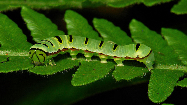 Caterpillar by itchydogimages on Flickr.