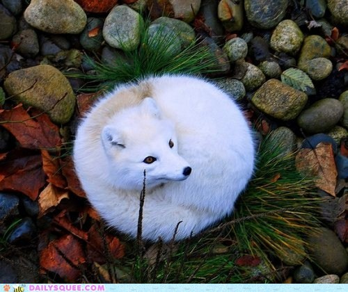 cimness:    I Can Has Cheezburger?/ Arctic Furball (via Shared from Opera)