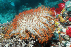 A NEW METHOD for controlling outbreaks of crown-of-thorns starfish is providing new hope for the future of the Great Barrier Reef. Marine scientists have discovered that injecting a protein mixture into the coral-feeding starfish (Acanthaster planci) induces disease, killing the pest within 24 hours. If deemed ecologically safe, the method could provide a fast, cost-effective means of controlling the invader, with significant benefits for the iconic reef. Crown-of-thorns starfish (COTS) outbreaks are one of the leading causes of coral death on the Great Barrier Reef. Since 1985, the reef has lost more than half its coral cover and COTS are responsible for 42 per cent of that loss.(read more)