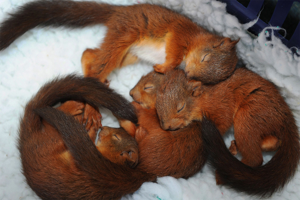 magicalnaturetour:   Baby squirrels sleeping in basket by Owen Humphreys :)