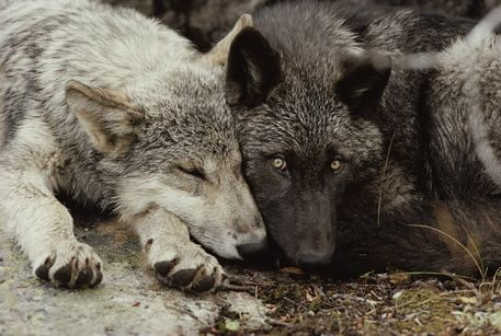 steampoweredrocket:  Whatcha thinking about?  Wolf things.