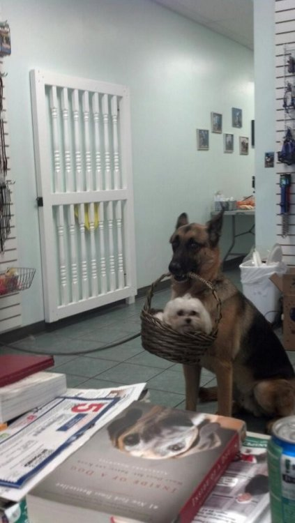 collegehumor:  Dog Carries Smaller Dog in Basket Aw, you brought me my lunch, thanks boy!