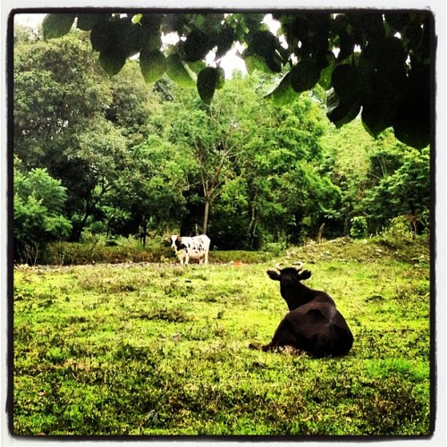 Beautiful day here in Jarabacoa! Spending some time with my fellow ♉🐂!  #nature #green #teamtaurus #jarabacoa #88degrees #cows