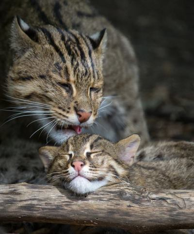 rhamphotheca:  The Fishing Cat kittens (Prionailurus viverrinus), at the National Zoo in Washington DC, sometimes need a break from romping around their yard and catching fish! Here, mom cleans one of the kittens.  :3 (photo: Barbara Statas)     (via: Smithsonian's National Zoo)