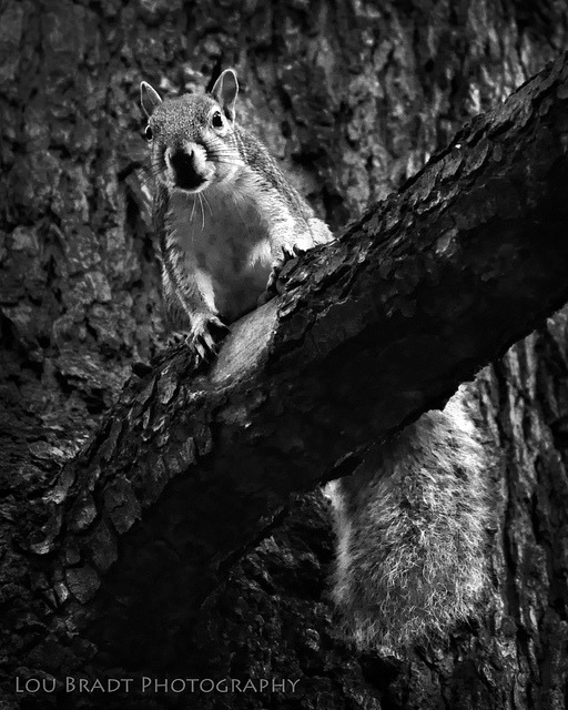 DPS, B&W-Animals……..Mr Squirrel on Flickr.