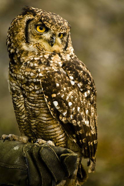 animalgazing:  _MG_9453owlsmall by donebythehandsofabrokenartist on Flickr.  this…is one of the best owls I've ever seen. definitely top 5.