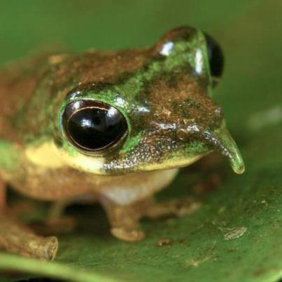 A frog with a Pinocchio-like nose is among the new species discovered in IndonesiaA frog with a Pinocchio-like nose is among the new species discovered in Indonesia's remote Foja Mountains. The team of scientists found a wide array of species, including a number believed to be new to science - such as the frog with a long protuberance which points upwards when the male is calling but deflates when he is less active. :)))