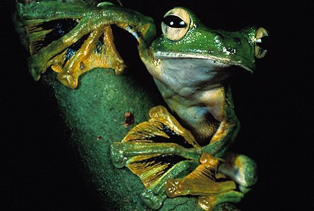 "Flying frogA ""flying"" frog is a frog that has the ability to achieve gliding flight. That is, it can descend at an angle of less than 45° relative to the horizontal. Other (non-flying) arboreal frogs can also descend vertically, but only at angles greater than 45°, which is referred to as parachuting. Gliding flight has evolved independently among 3,400 species of frogs from both New World (Hylidae) and Old World (Rhacophoridae) families.This parallel evolution is seen as an adaptation to their life in trees, high above the ground. Characteristics of the Old World species include ""enlarged hands and feet, full webbing between all fingers and toes, lateral skin flaps on the arms and legs, and reduced weight per snout-vent length"". These morphological changes contribute to the flying frog's aerodynamic abilities.Alfred Russel Wallace made one of the earliest reports of a flying frog. The species he observed was later described by George Albert Boulenger as Rhacophorus nigropalmatus."