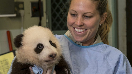 100-day-old panda awaits a nameThe name of the panda will be announced on Nov. 13, and contenders include Yu Di (Raindrop) and Shui Long (Water Dragon).