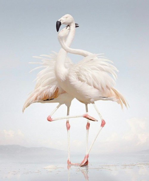 fairy-wren:  chilean flamingos (photo by Simen Johan)