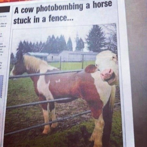 A Cow Photobombing a Horse Stuck in a Fence All the news that's fit to print — or fits inside a fence.