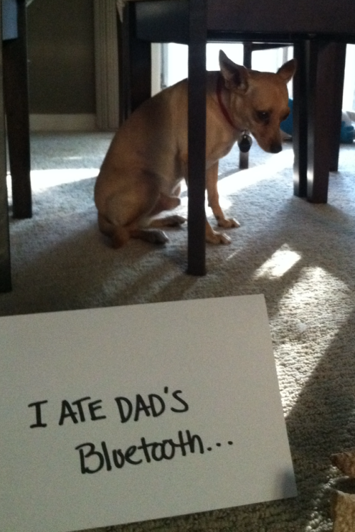 dogshaming:  I ate dad's bluetooth… I can't hide my shame..
