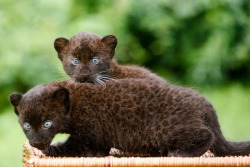 animals-plus-nature:  Germany Black Panther Cubs by deadmoon on Flickr.
