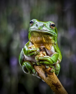 "end0skeletal:  (via 500px / Photo ""Green Tree Frog 2"" by Rob Sturman)"