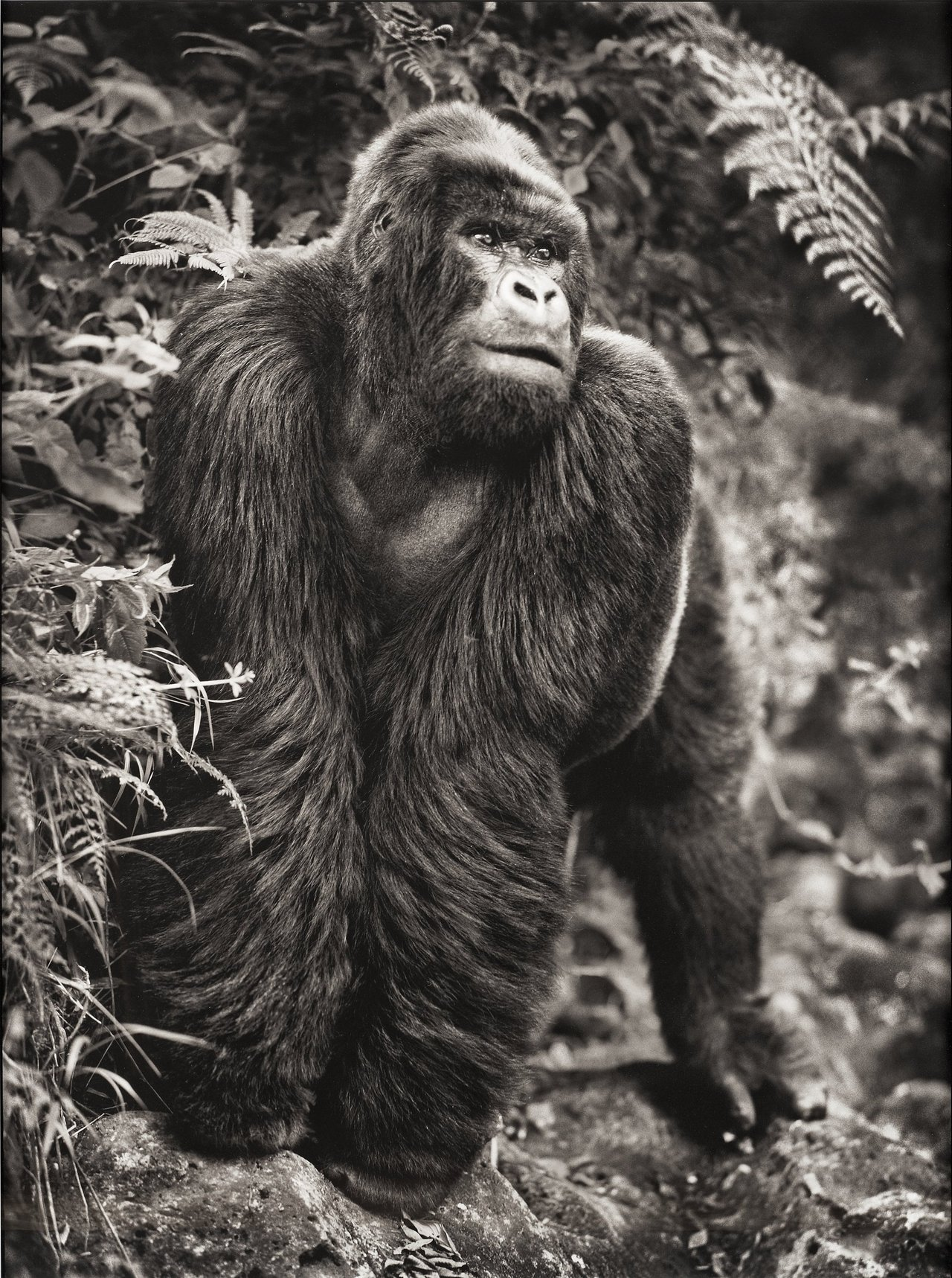 "floserber:   Nick Brandt  ""Gorilla on Rock, Parc des Volcans"", 2008.  Archival pigment print mounted on aluminum and framed, image 142 x 105 cm."