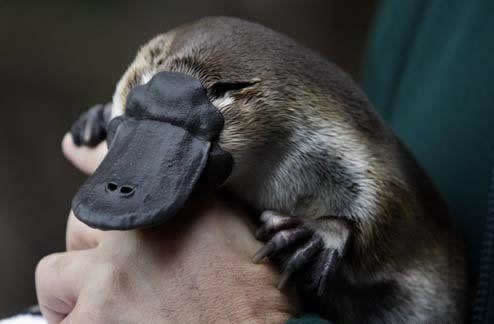 Can we talk about how cute baby platypuses are for a second?