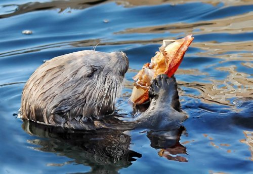 Crab. It's what's for dinner. We'd love to know: what's your favorite otter-viewing experience? Learn more about how we're helping save sea otters. (©Jim Capwell/www.divecentral.com)