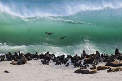 rhamphotheca:  California Sea Lions gather in the surf at  Channel Islands National Park, CA, USA.  (Photo: Michael Field)       (via: Sierra Club)