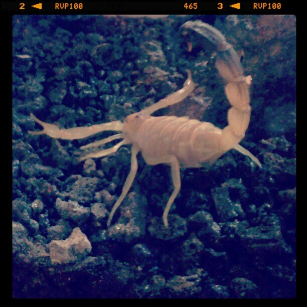 #Golden #Fattail #Scorpions can #kill you with #one #sting…of course I own one!