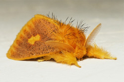 mothsaregreat:  Tussock Moth (Euproctis plagiata, Lymantriinae) by itchydogimages on Flickr.