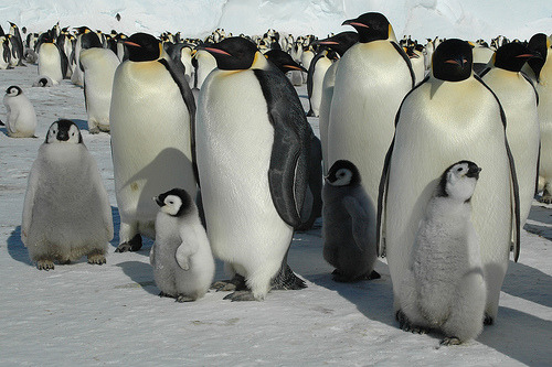 Two new emperor penguin colonies totaling 6000 chicks have just been observed near Mertz Glacier on Antarctica. A pair of emperor penguins may only successfully raise one chick a year. (photograph by BrynJ)