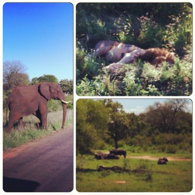 Elephant, lion and water buffalo at Kruger Park