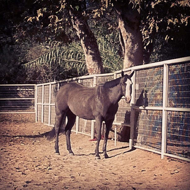 Zorro looks so pretty #blackhorse  #quarterhorse  #gelding  #horses  #horse