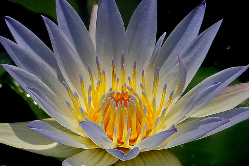 coffeenuts:  Water Lily by sgmillionxu2000 on Flickr.