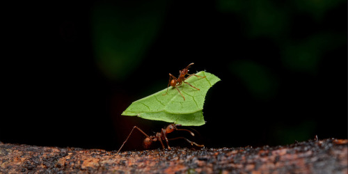 ichthyologist:  Leaf-cutter Ant Society Next to humans, leafcutter ants form the largest and most complex animal societies on Earth. In a few years, the central mound of their underground nests can grow to more than 30 metres (98 ft) across, with smaller, radiating mounds extending out to a radius of 80 metres (260 ft), taking up 30 to 600 square metres (320 to 6,500 sq ft) and containing eight million individuals. Info: Ross 2002, pp. 11–13. Pictures: ggalice on Flickr, Bandwagonman at en.wikipedia