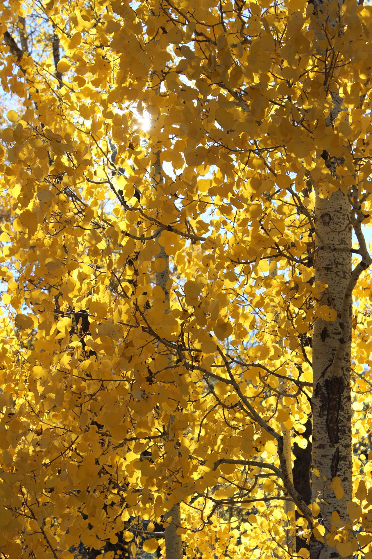 Aspens of gold