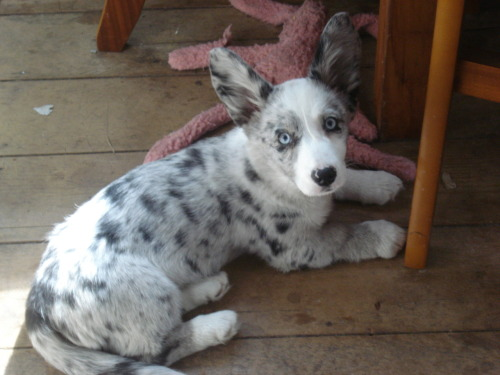 bonami:  Mab, My Cardigan Corgi in 2009