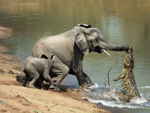 thepredatorblog:  crazyanimalshots:  Ouch! An elephant gets a scare when taking a drink from a river. Source: Photamateur  I THINK THAT'S PUTTING IT MILDLY