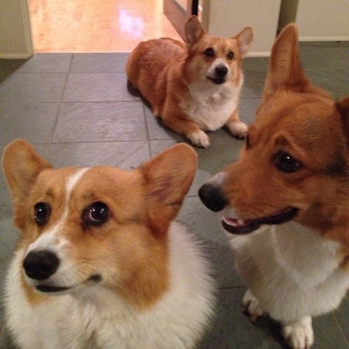 andcorgimakesthree:  They're like a band #corgi #cute #love #petstagram #corgistagram #igers #dog #photooftheday