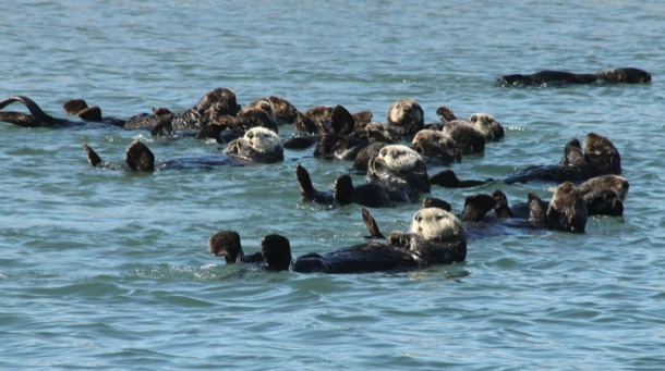dailyotter:  Only One Sea Otter from the Whole Raft Seems to Notice Photographer Via edward_rooks