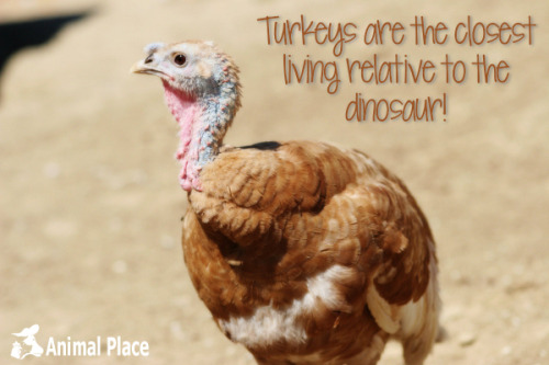 animalplace:  Day 10 of 22 Days of Turkey Talk in which turkeys become dinosaurs!