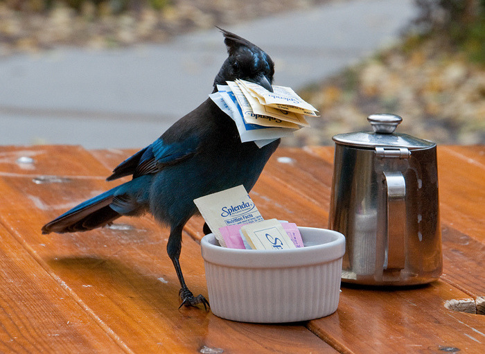 "corvidblog:  Human Interaction - Honorable Mention, Steller's Jay Stealing Sweetner Packets (by SFBBO Click Off Photo Contest)""Photo by Bill Stone. After a morning and afternoon of photographing fall colors south of Lake Tahoe my daughter and I stopped for a late lunch at Sorenson's Resort. We had watched this Jay flying around the outside tables and when the people next to us left he helped himself to the sweetener packets. He stashed them around the resort and came back for more."" ______________________________________________________ When I was wee and lived in California I had one of these plucky little jays steal a cookie right out of my hand at Yosemite.  Definitely one of my favorite jays and I loved watching them when we'd visit Lake Tahoe.  To this day if I hear the call of one in a movie or on the internet I smell Lake Tahoe.  Glad to know the Tahoe jays are still as fearless as ever!"