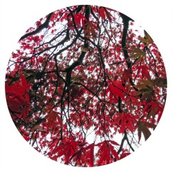 ♥ Japanese Maple ♥
