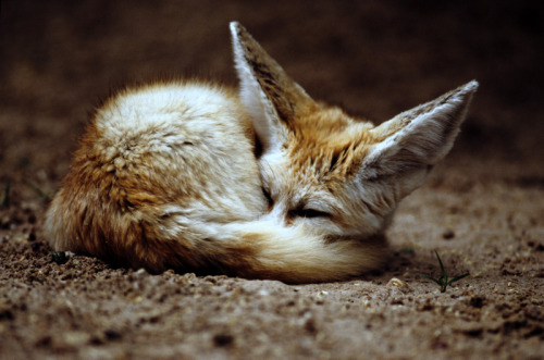 animals-animals-animals:  Fennec Fox (by Art-Photo)