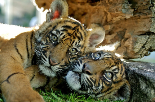 Sumatran tiger cubs http://flic.kr/p/aS7oCt