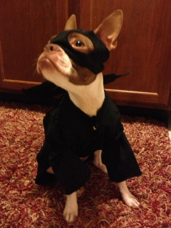 fuckyeahbostonterriers:  halloween bat! @sunkinsed